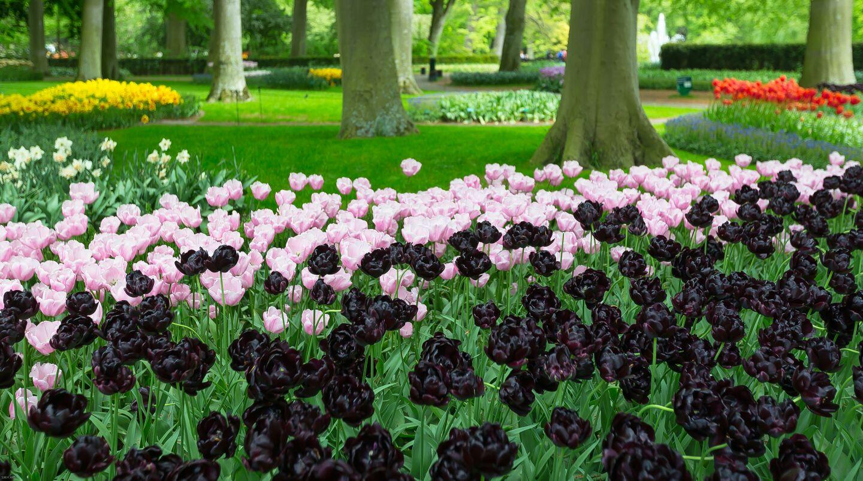 Contemplar la belleza de un tulipán negro...