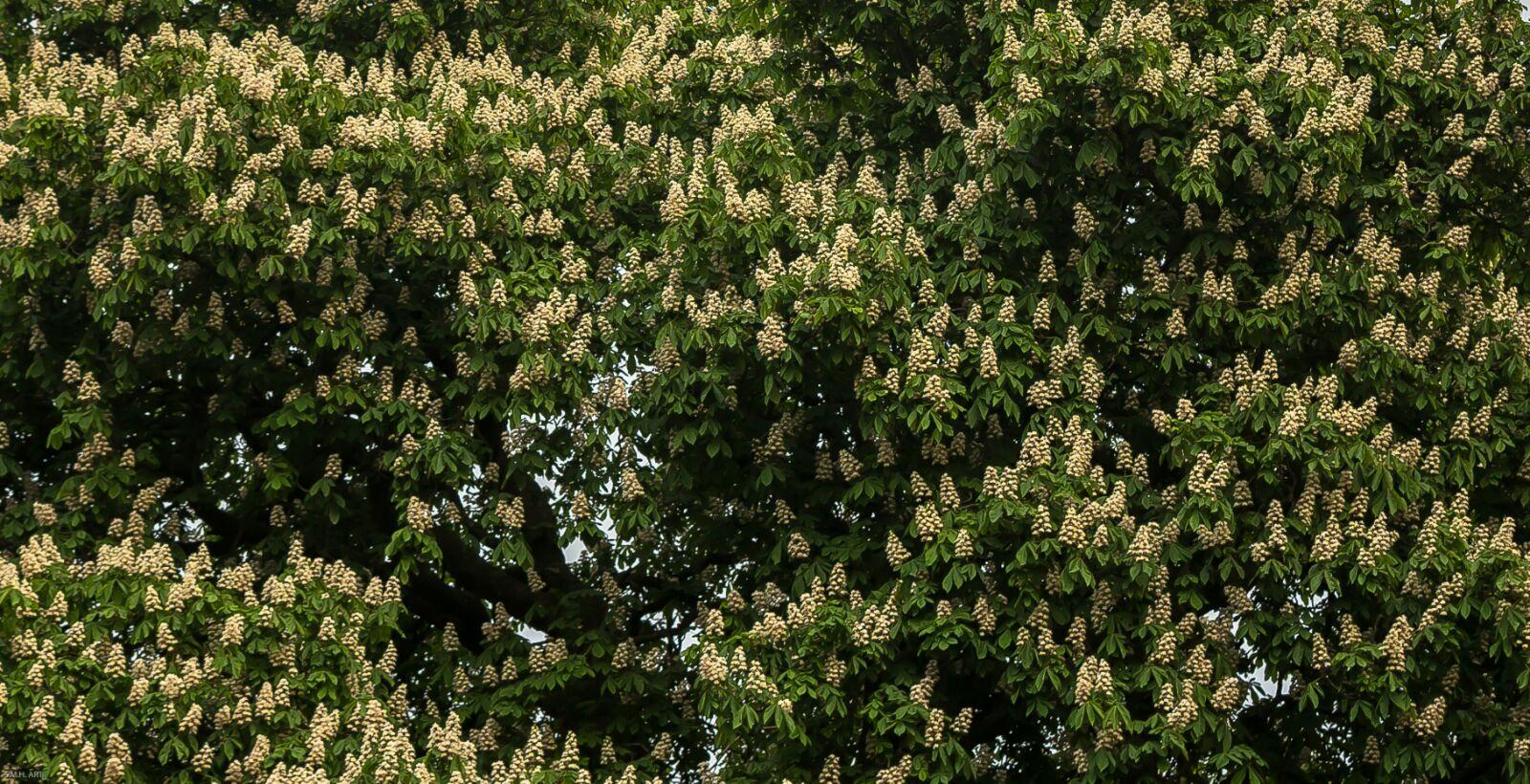 Castaño florecía en mayo