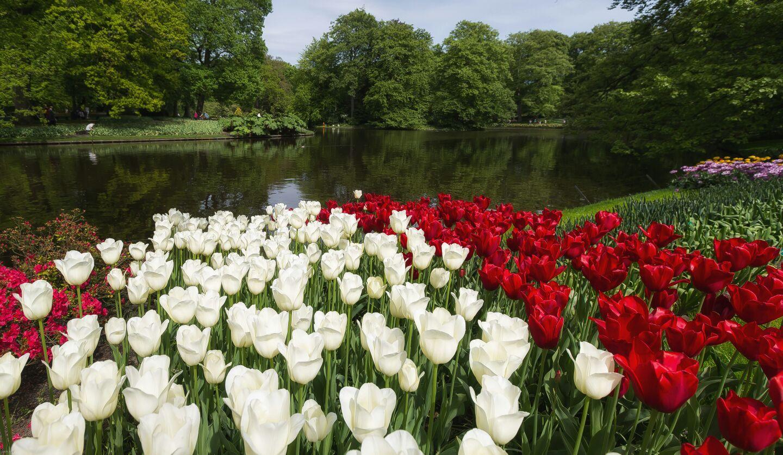 Campos de tulipanes...ofrenda de amor...