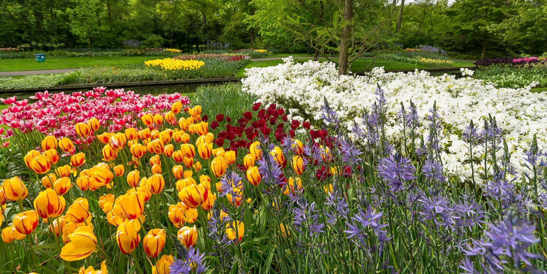 Tulipanes, Narcisos, Jacintos...