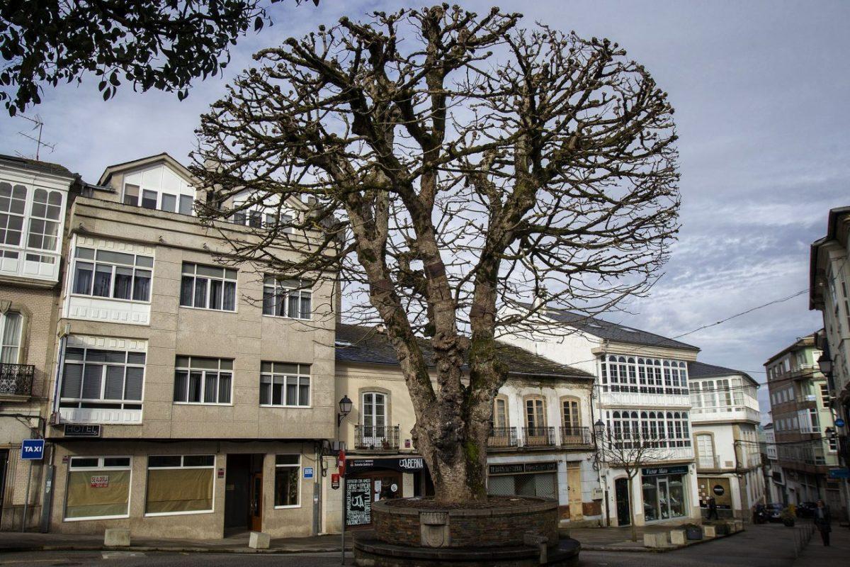 Un árbol con nombre propio recibe al peregrino...